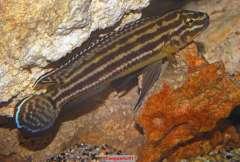 Julidochromis regani Kekese
