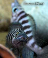 Neolamprologus cylindricus.