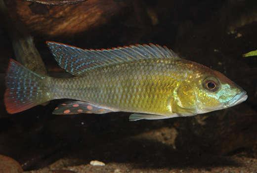 thoracochromis_buysi_1826.jpg