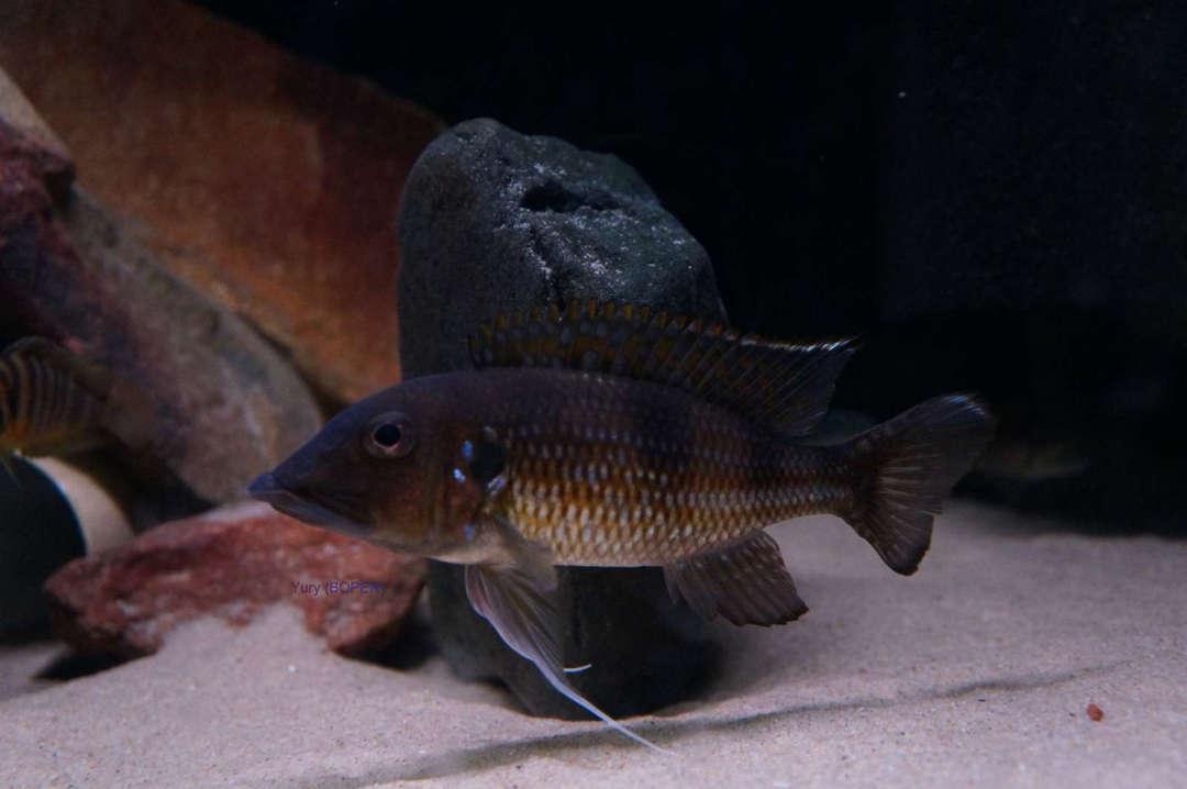 Gnathochromis permaxillaris Chituta