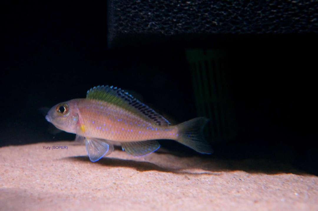 Xenotilapia spilopterus Lyamembe-Mabilibili