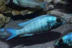 Placidochromis sp. Gissel