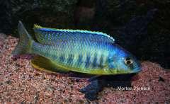 """Mylochromis spilostichus """"Makokola Reef"""""""