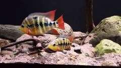 Amphilophus lyonsi