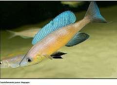 Cyprichromis pavo