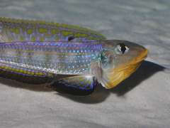 enantiopus sp. kilesa