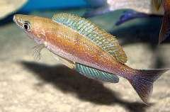 Cyprichromis microlepidotus Kigoma