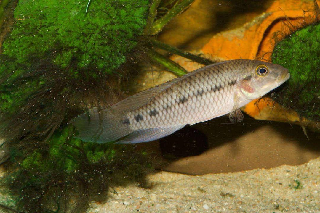 Картинки по запросу Parananochromis