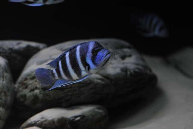 "Cyphotilapia gibberosa blue Zaire ""Moba"" (Wild)"