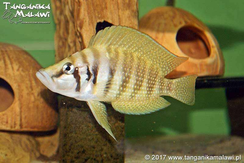 Altolamprologus calvus yellow Chisanse