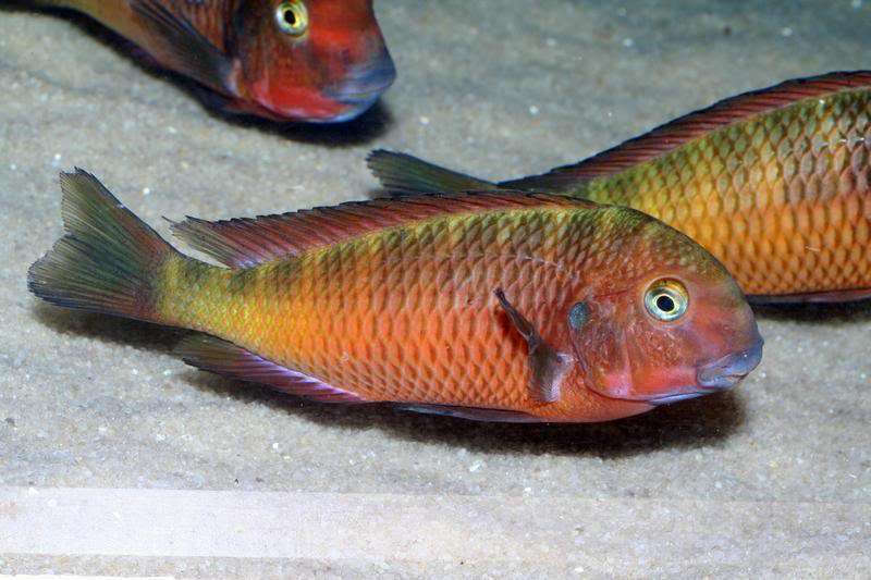 Tropheus sp. red nsumbu