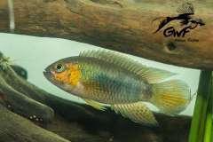 Nannacara aff. aureocephalus