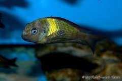 """Tropheus sp. lunatus """"Maswa"""""""
