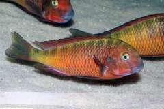 Tropheus sp. red nsumbu