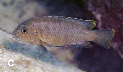 Metriaclima nigrodorsalis 2.jpg