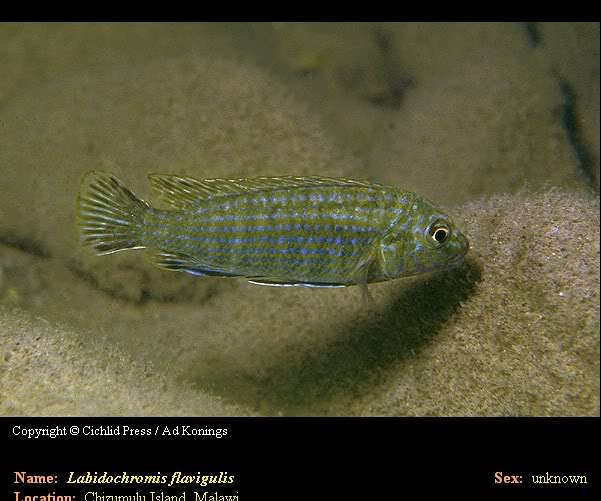 LabidochromisFlavigulis.jpg