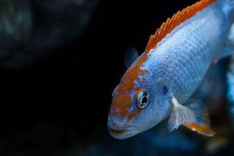 Pseudotropheus_perspicax_orange_cap._mirko_redeker.jpg