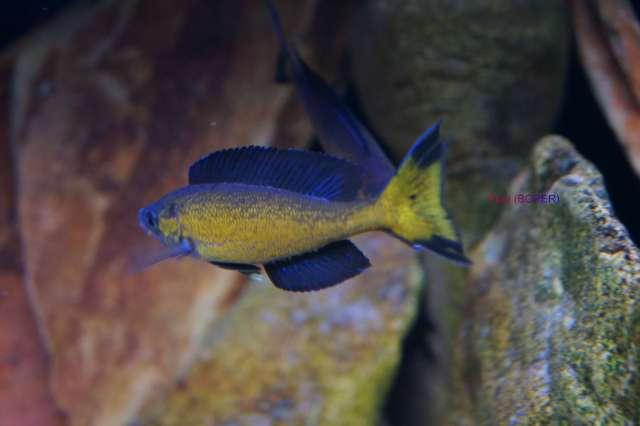 Cyprichromis microlepidotus Kassai