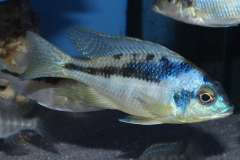 Mylochromis incola
