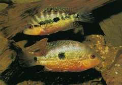 Cribroheros longimanus