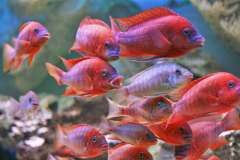 Petrochromis sp. 'red'