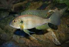 Limnochromis staneri