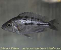 Hemitaeniochromis brachyrhynchus