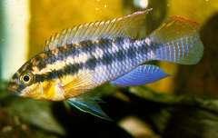 Pseudocrenilabrus sp. Lufubu
