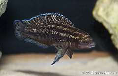 "Julidochromis sp. ""Congo"""