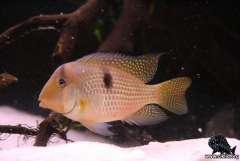 Guianacara stergiosi