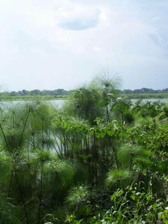Papyrus_along_the_Nile_in_Uganda_-_by_Michael_Shade.jpg