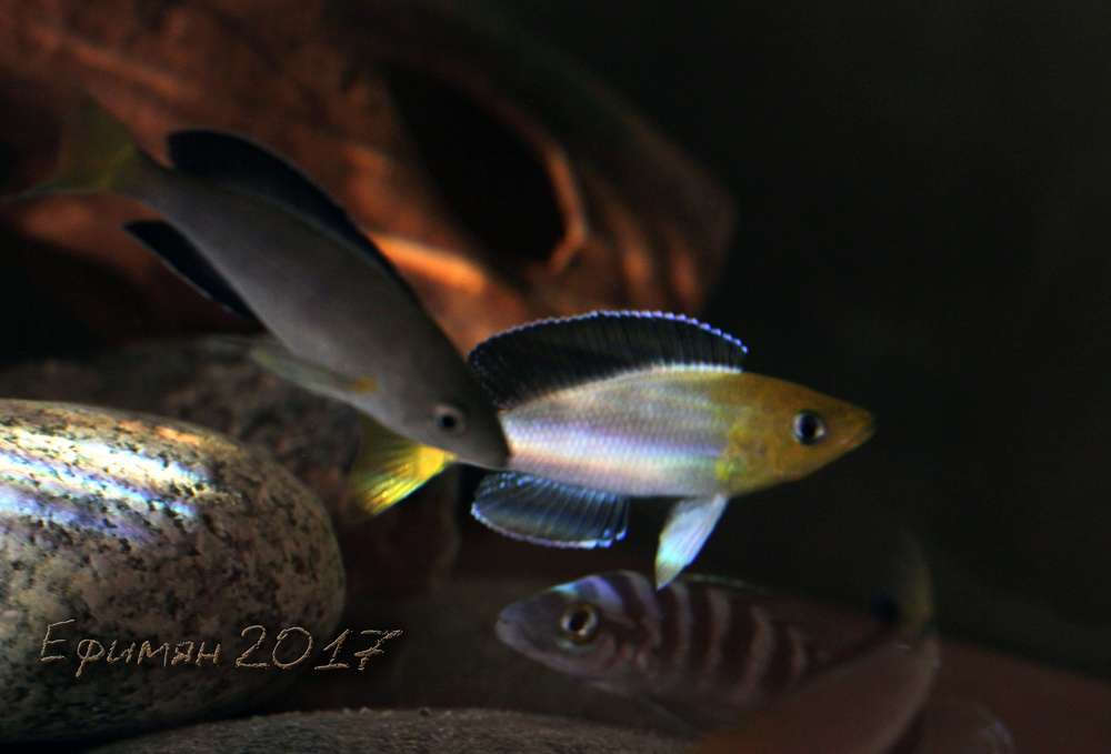 Cyprichromis leptosoma Jumbo Yellow Head и некоторые другие ...