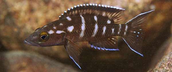 neolamprologus buescheri Kombe (Zambia)
