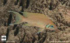 Neolamprologus pulcher Silaf Rocks, Cape Mpimbwe.