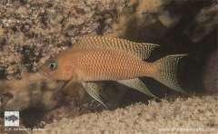 Neolamprologus walteri  Maswa