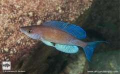 Cyprichromis pavo,  Fulwe Rocks