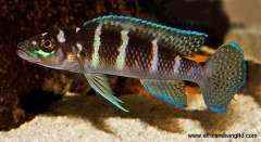 """Neolamprologus cylindricus """"Green"""""""