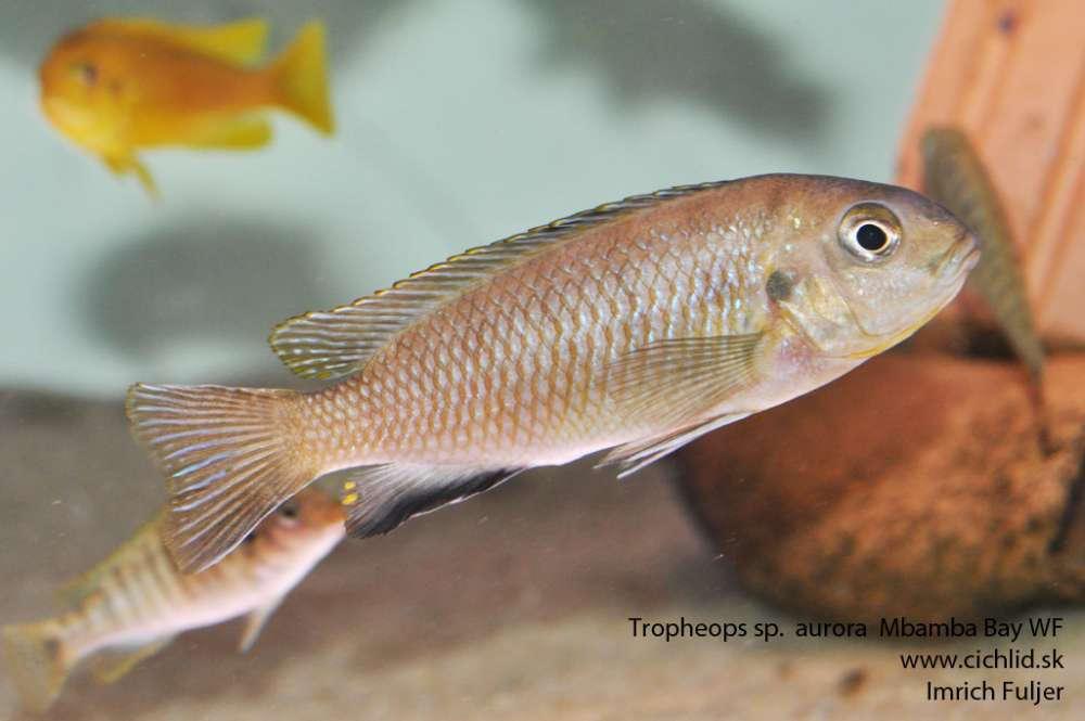 tropheops-sp.-aurora-mbamba-bay-wf-_3_.jpg