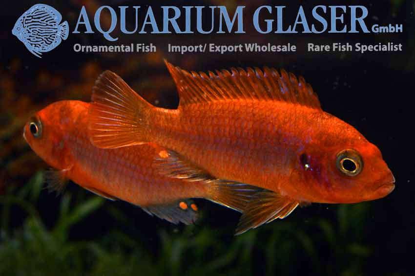 540902-labidochromis-hongi-sweden1.jpg