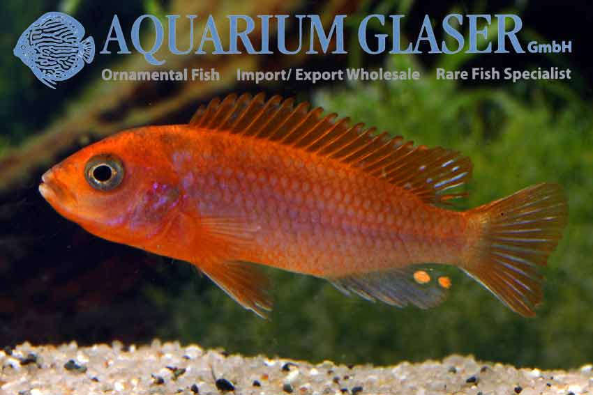 540902-labidochromis-hongi-sweden2.jpg