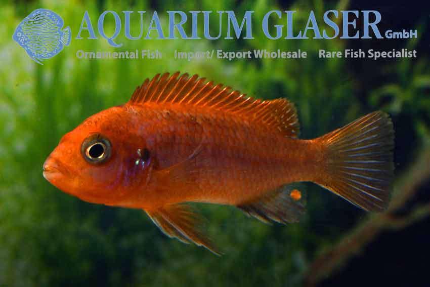 540902-labidochromis-hongi-sweden3.jpg