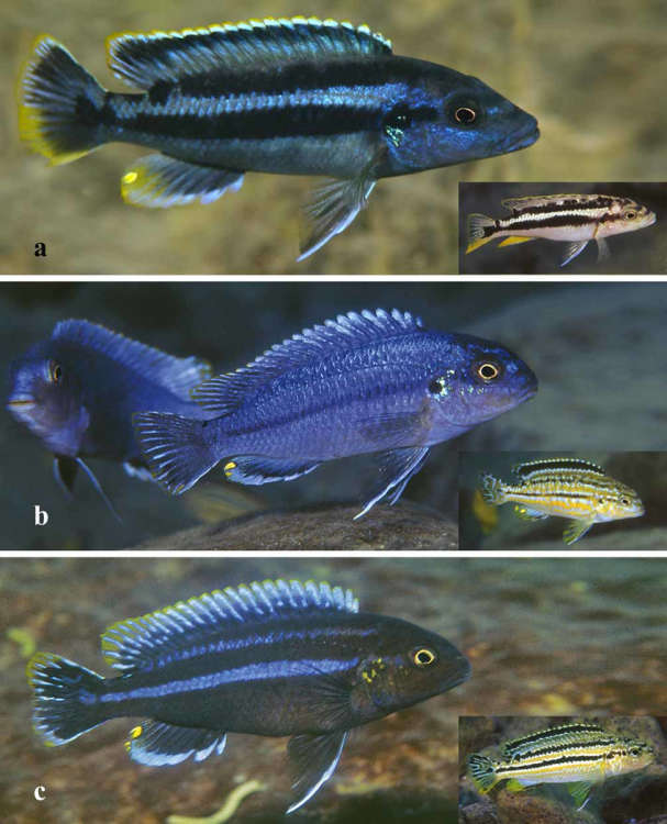 FIGURE-7-a-A-non-territorial-male-Melanochromis-kaskazini-approx-105-mm-SL-at.jpg