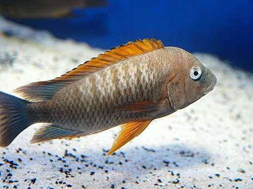 Petrochromis famula Kigoma