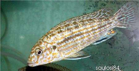 Labidochromis textilis