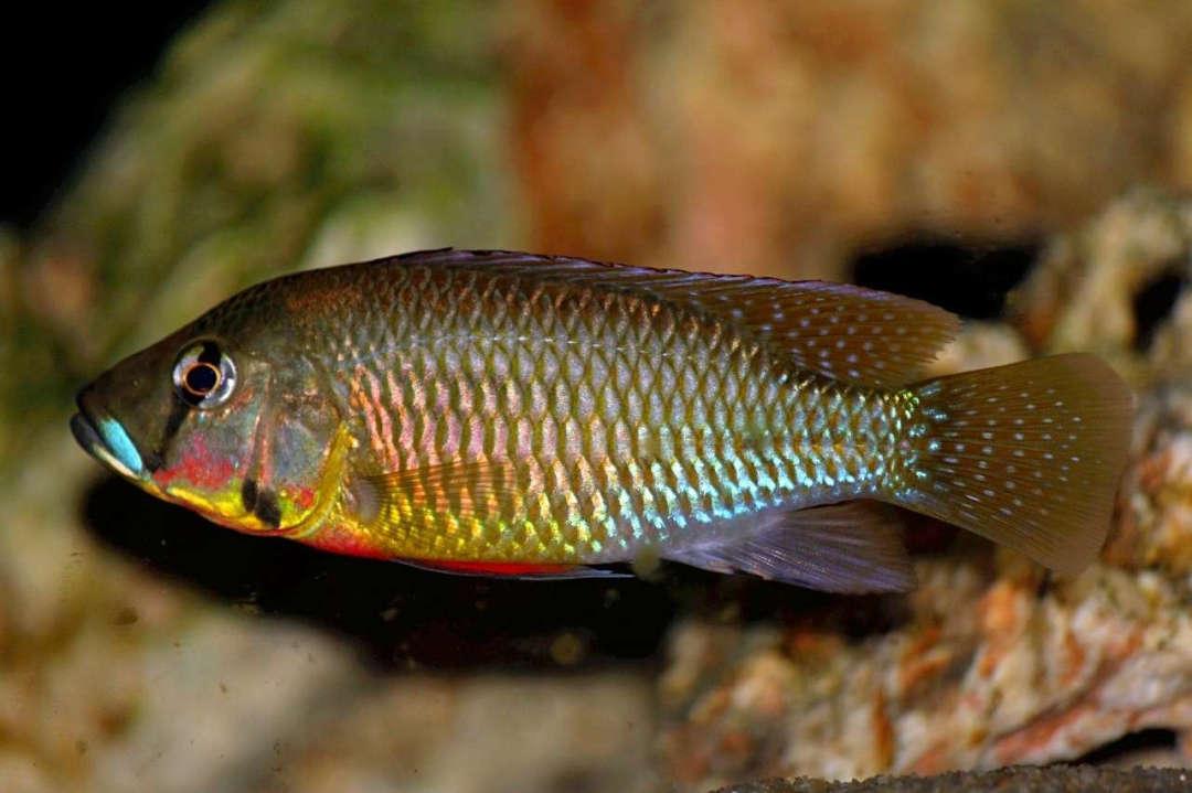 Thoracochromis callichromus