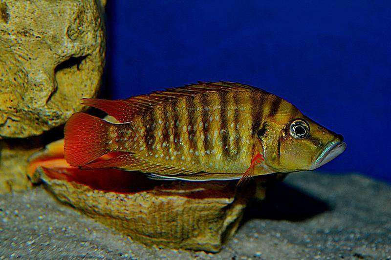 "Altolamprologus compressiceps ""Red Fin"
