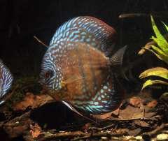 Symphysodon aequifasciatus, Lago Cuipeua