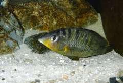exgnathochromis pfefferi