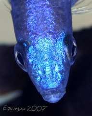 Cyprichromis leptosoma Mpulungu