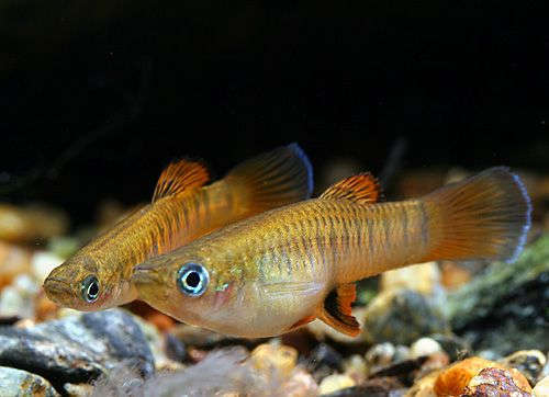 9f07389c38d014b5cfc3c09a7d619983--freshwater-aquarium-aquarium-fish.jpg